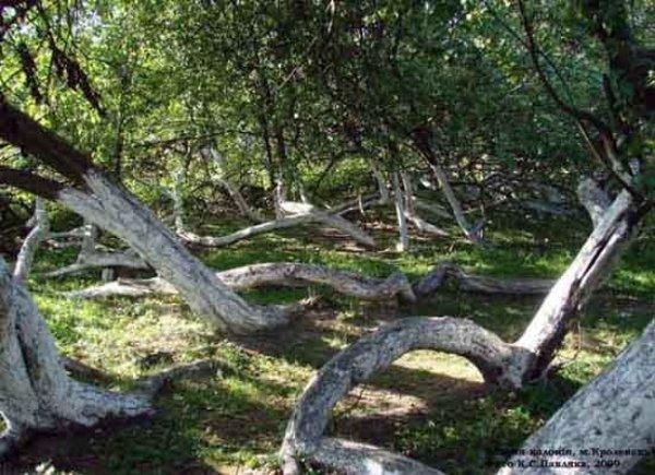Яблоня-колония, Кролевец